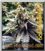 Humboldt Chocolate Mint OG Fem 5 Weed seeds